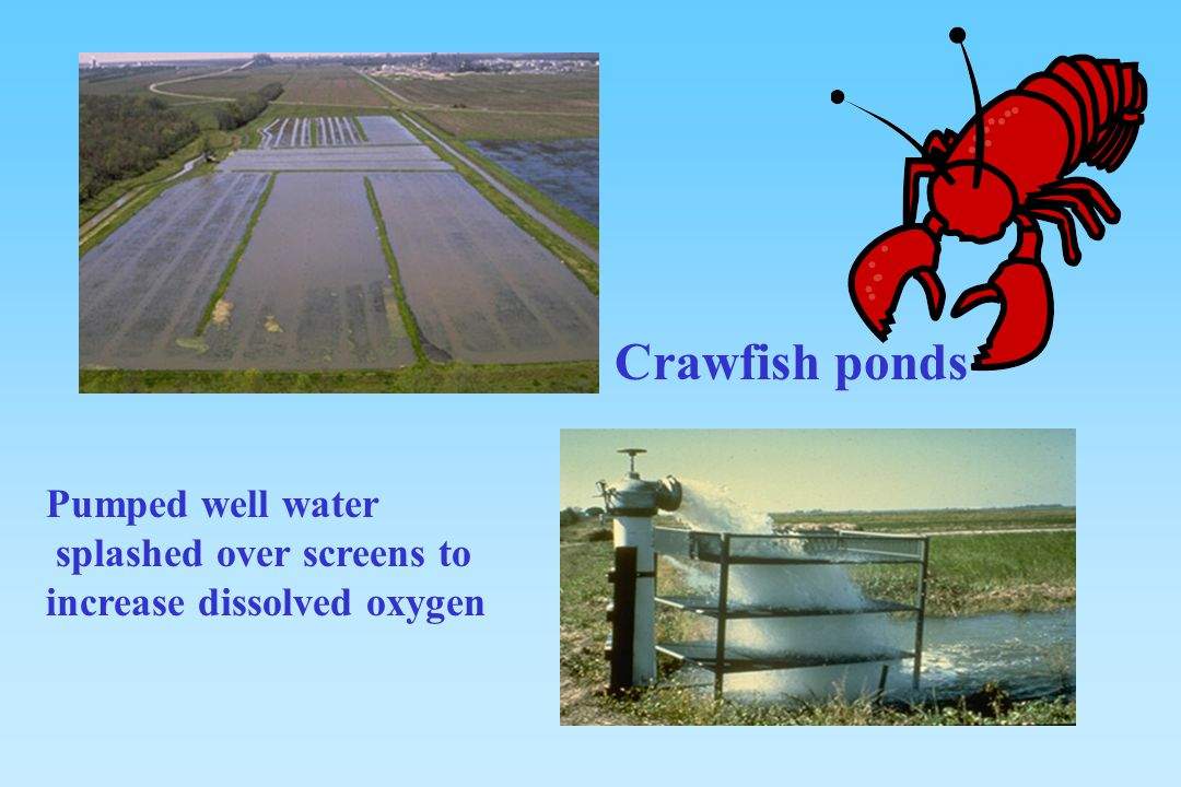 Crawfish ponds Pumped well water splashed over screens to