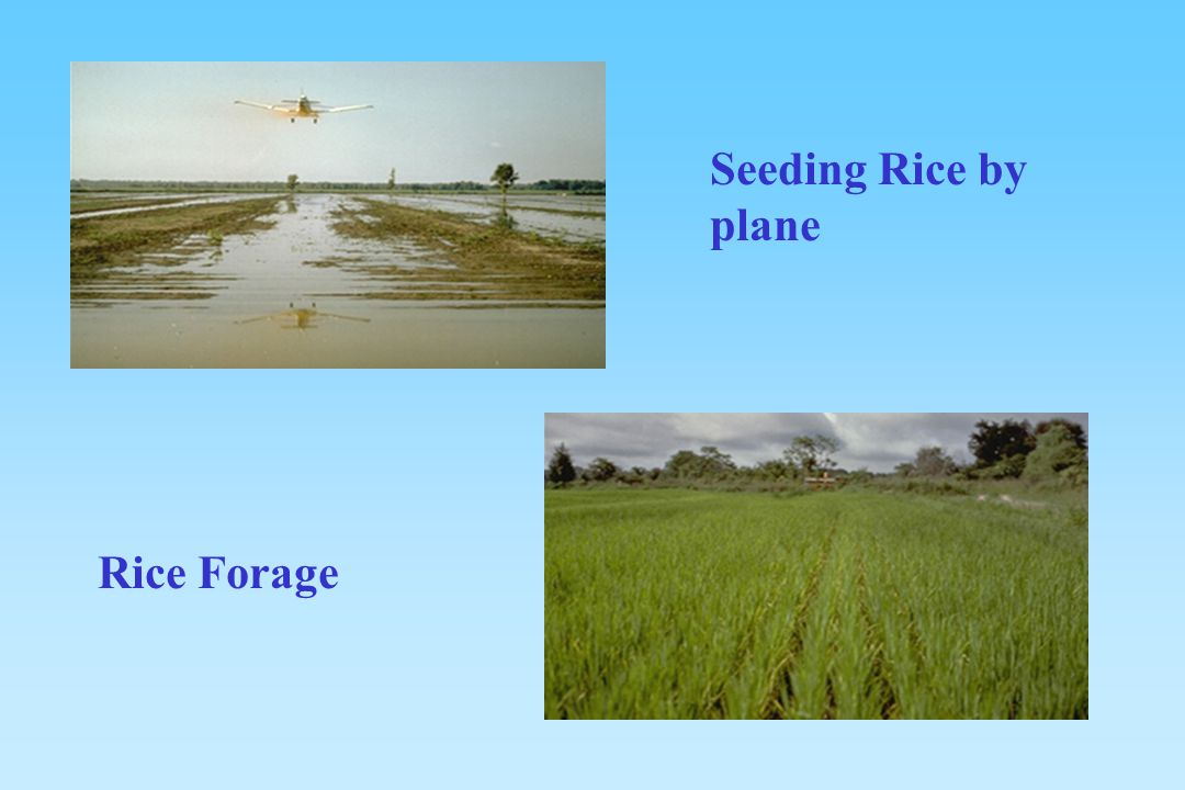 Seeding Rice by plane Rice Forage
