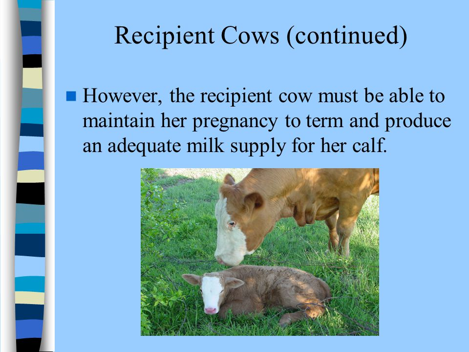 Recipient Cows (continued)
