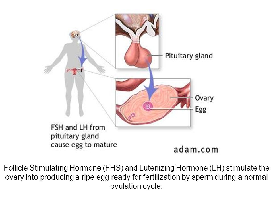 Follicle Stimulating Hormone (FHS) and Lutenizing Hormone (LH) stimulate the ovary into producing a ripe egg ready for fertilization by sperm during a normal ovulation cycle.
