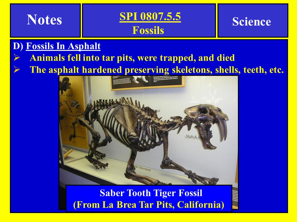 Saber Tooth Tiger Fossil (From La Brea Tar Pits, California)