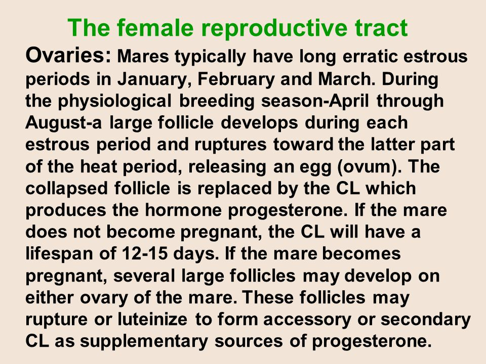 The female reproductive tract Ovaries: Mares typically have long erratic estrous periods in January, February and March. During the physiological breeding season-April through August-a large follicle develops during each estrous period and ruptures toward the latter part of the heat period, releasing an egg (ovum). The collapsed follicle is replaced by the CL which produces the hormone progesterone. If the mare does not become pregnant, the CL will have a lifespan of 12-15 days. If the mare becomes pregnant, several large follicles may develop on either ovary of the mare. These follicles may rupture or luteinize to form accessory or secondary CL as supplementary sources of progesterone.