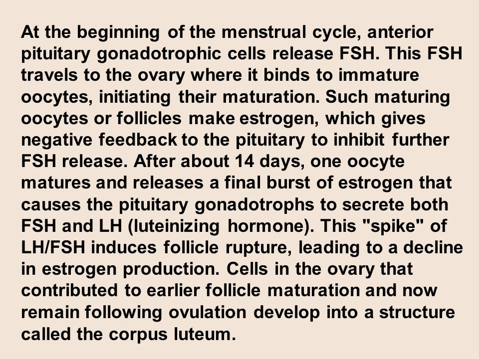 At the beginning of the menstrual cycle, anterior pituitary gonadotrophic cells release FSH. This FSH travels to the ovary where it binds to immature oocytes, initiating their maturation. Such maturing oocytes or follicles make estrogen, which gives negative feedback to the pituitary to inhibit further FSH release. After about 14 days, one oocyte matures and releases a final burst of estrogen that causes the pituitary gonadotrophs to secrete both FSH and LH (luteinizing hormone). This spike of LH/FSH induces follicle rupture, leading to a decline in estrogen production. Cells in the ovary that contributed to earlier follicle maturation and now remain following ovulation develop into a structure called the corpus luteum.