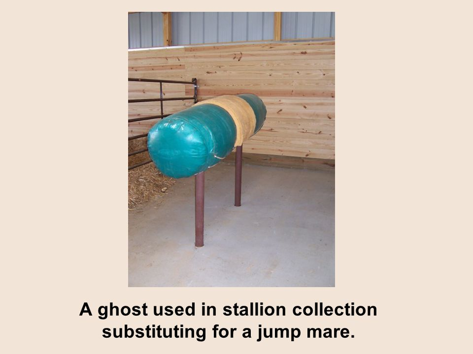 A ghost used in stallion collection substituting for a jump mare.