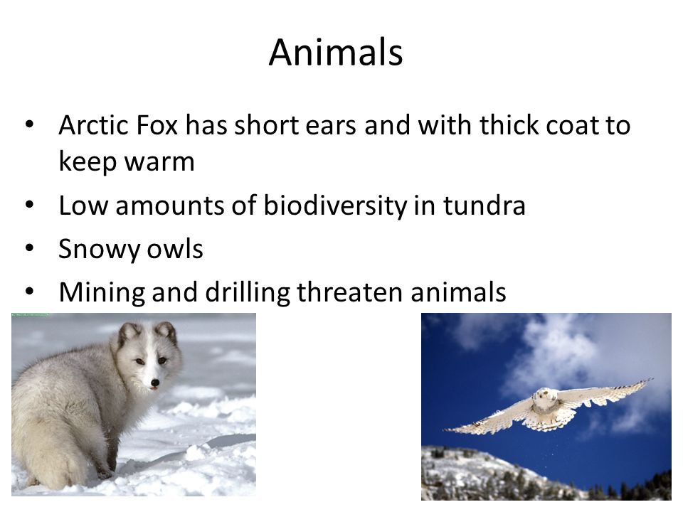 Animals Arctic Fox has short ears and with thick coat to keep warm