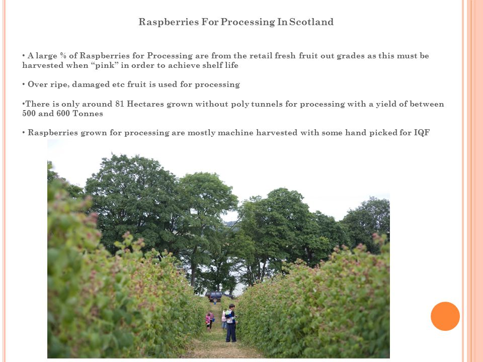 Raspberries For Processing In Scotland