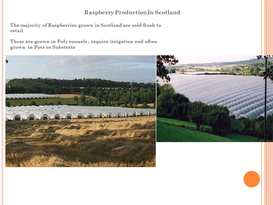 Raspberry Production In Scotland