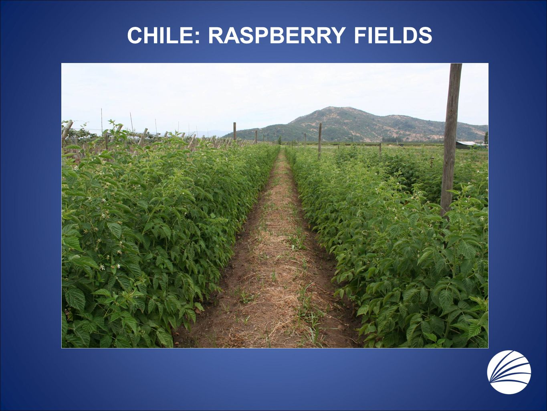 CHILE: RASPBERRY FIELDS