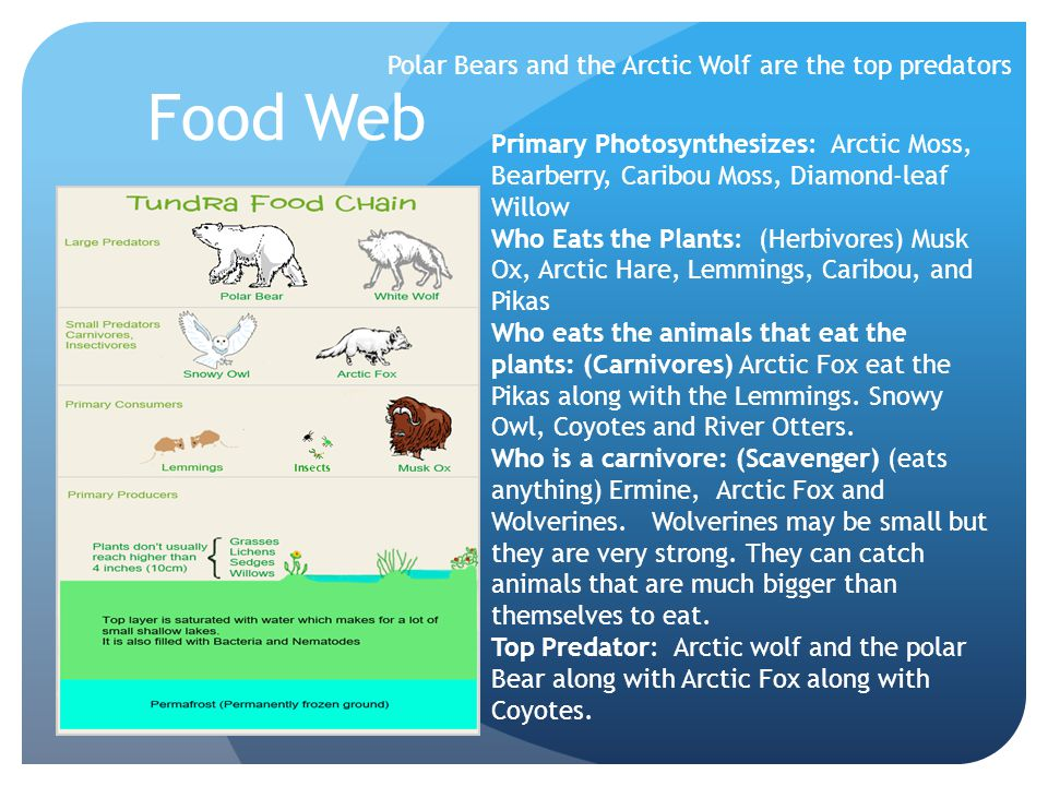 Polar Bears and the Arctic Wolf are the top predators