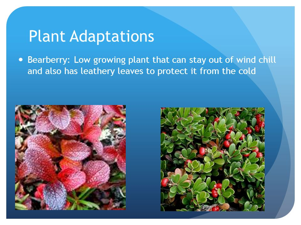 Plant Adaptations Bearberry: Low growing plant that can stay out of wind chill and also has leathery leaves to protect it from the cold.