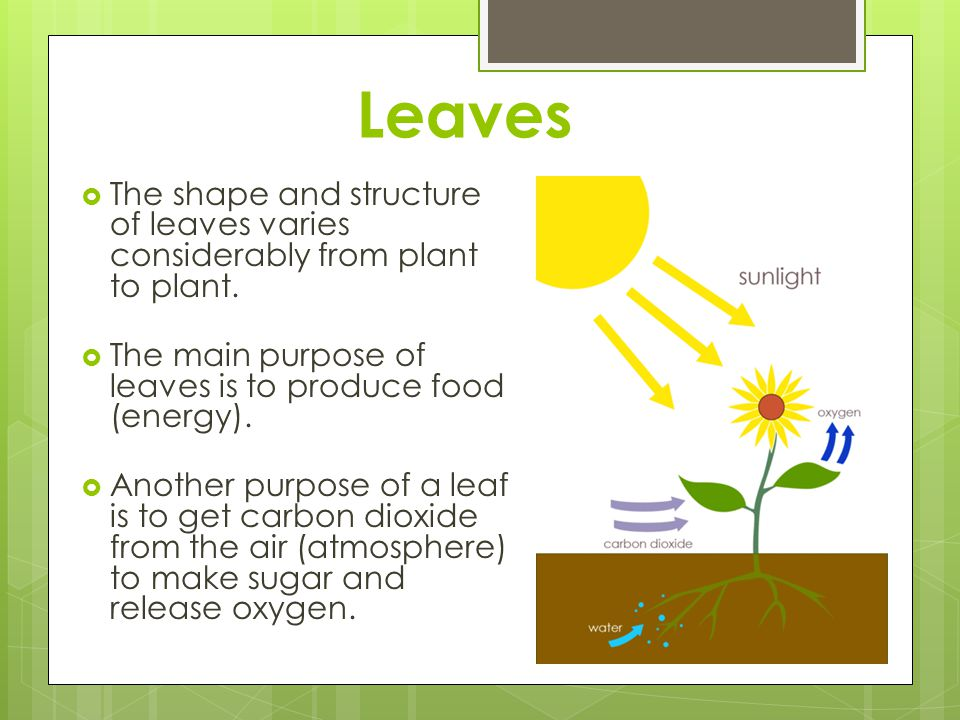 Leaves The shape and structure of leaves varies considerably from plant to plant. The main purpose of leaves is to produce food (energy).