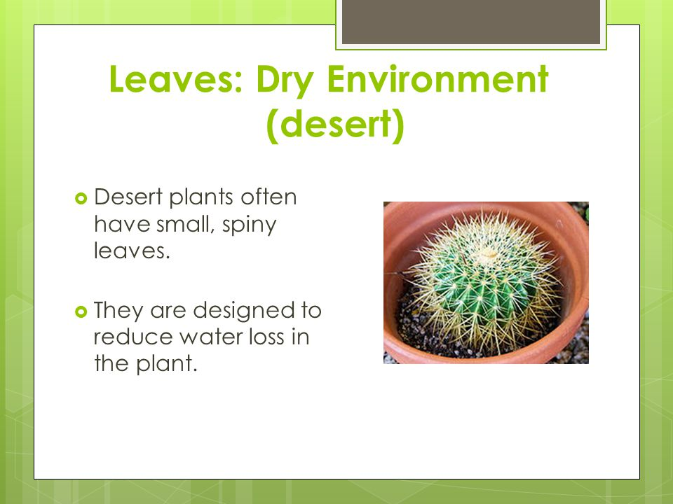 Leaves: Dry Environment (desert)