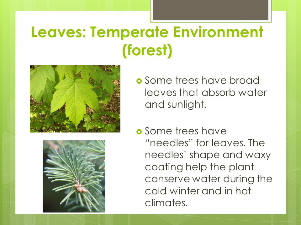 Leaves: Temperate Environment (forest)