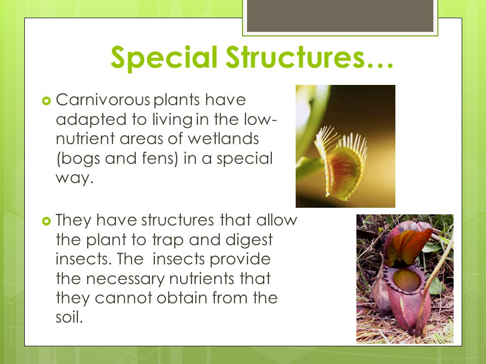 Special Structures… Carnivorous plants have adapted to living in the low-nutrient areas of wetlands (bogs and fens) in a special way.
