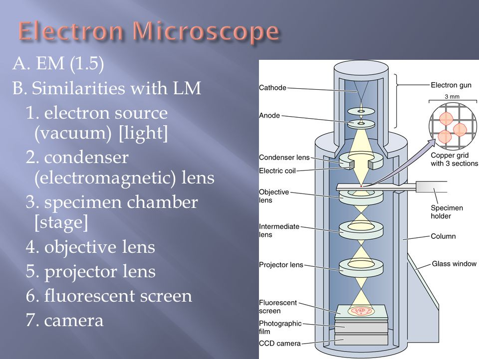 Electron Microscope A. EM (1.5) B. Similarities with LM
