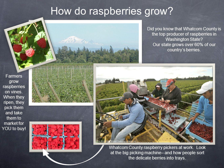 How do raspberries grow