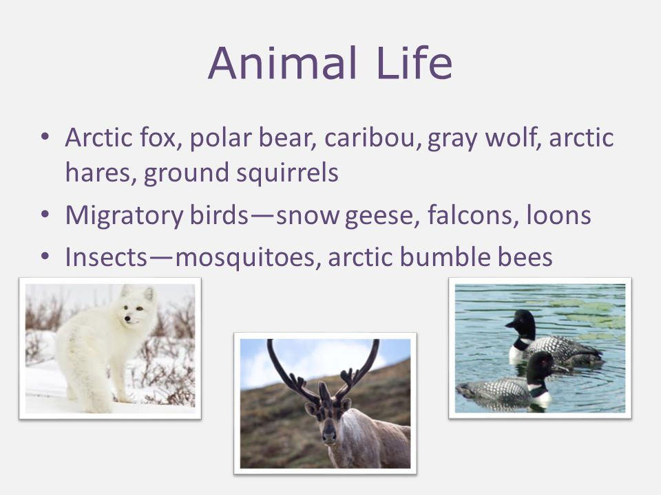 Animal Life Arctic fox, polar bear, caribou, gray wolf, arctic hares, ground squirrels. Migratory birds—snow geese, falcons, loons.