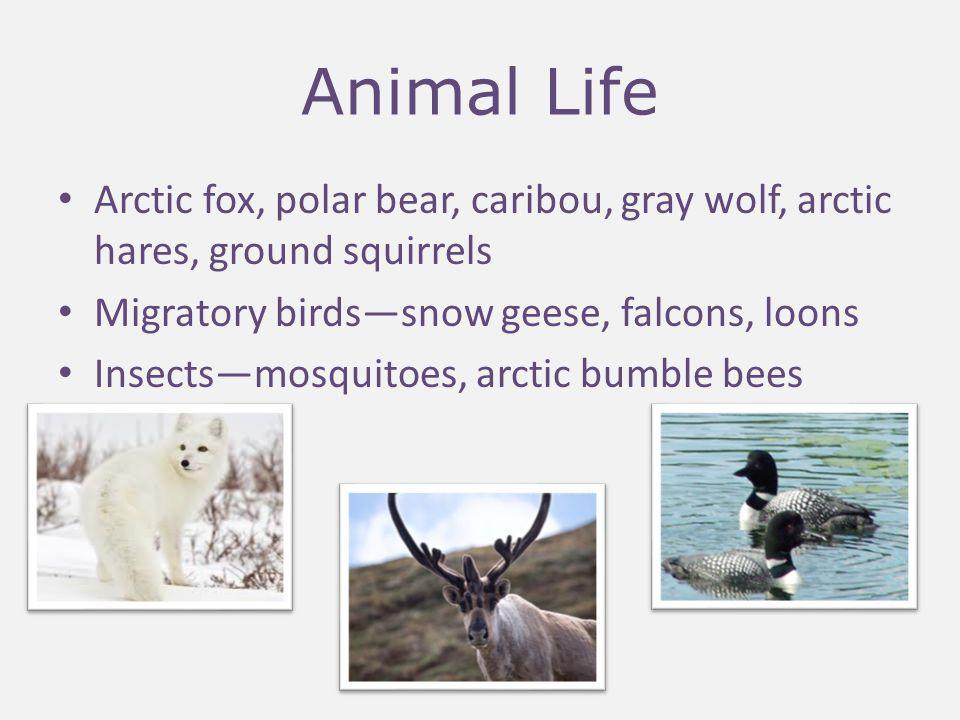 Animal Life Arctic fox, polar bear, caribou, gray wolf, arctic hares, ground squirrels. Migratory birds—snow geese, falcons, loons.