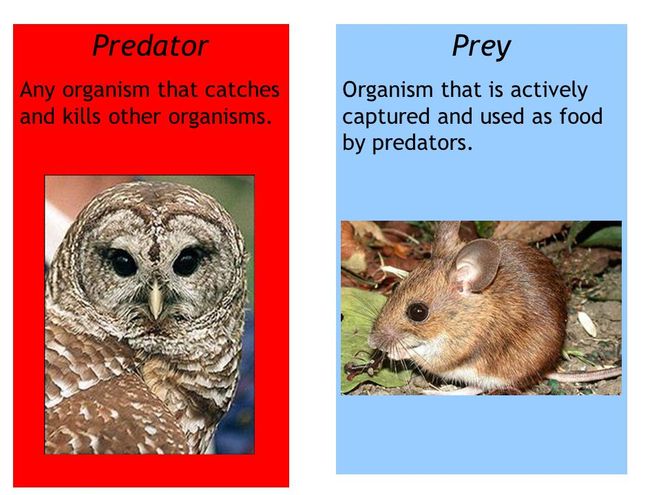 Predator Prey Any organism that catches and kills other organisms.