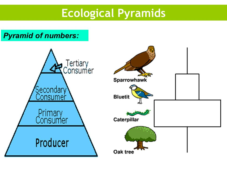 Ecological Pyramids Pyramid of numbers: