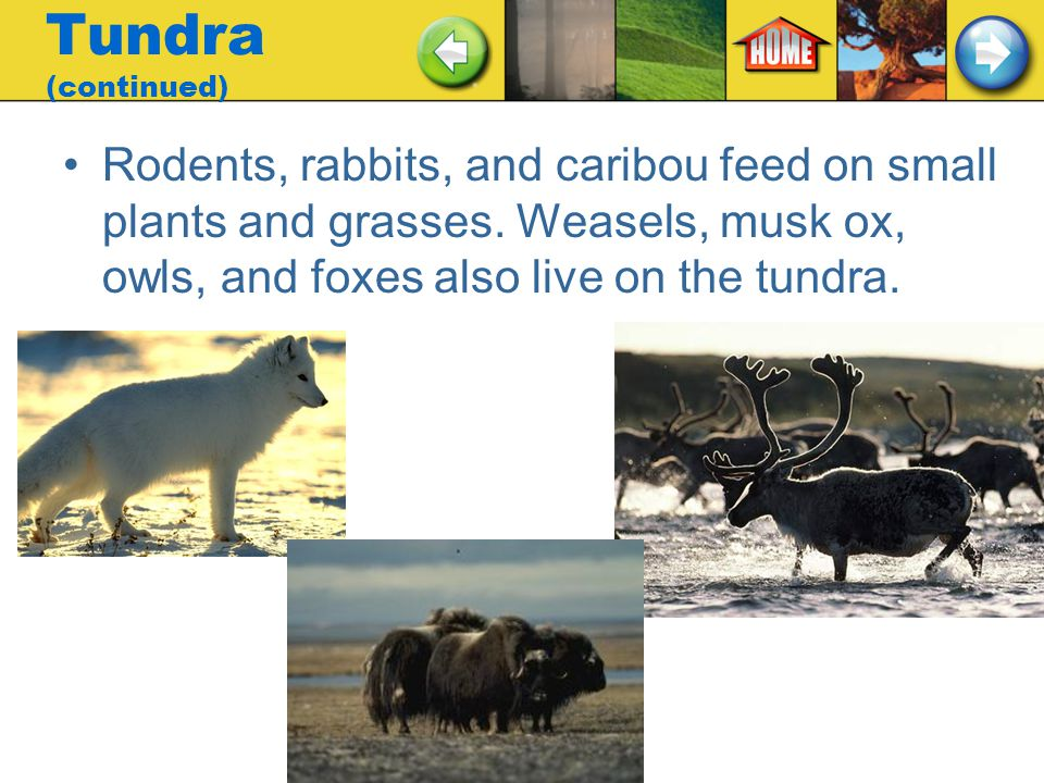 Tundra (continued) Rodents, rabbits, and caribou feed on small plants and grasses.