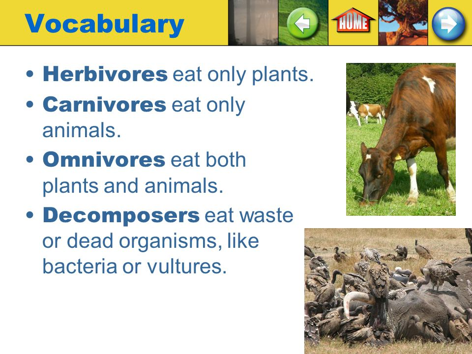 Vocabulary Herbivores eat only plants. Carnivores eat only animals.