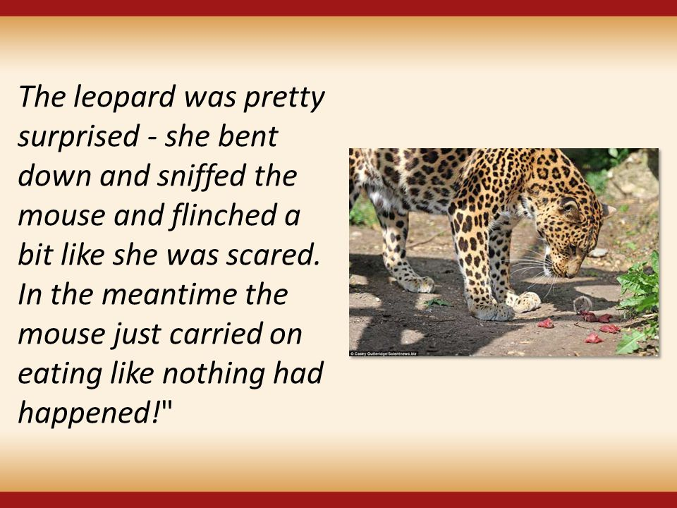 The leopard was pretty surprised - she bent down and sniffed the mouse and flinched a bit like she was scared.