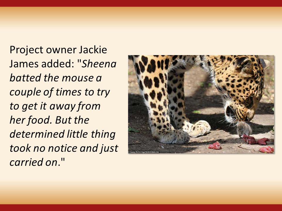 Project owner Jackie James added: Sheena batted the mouse a couple of times to try to get it away from her food.