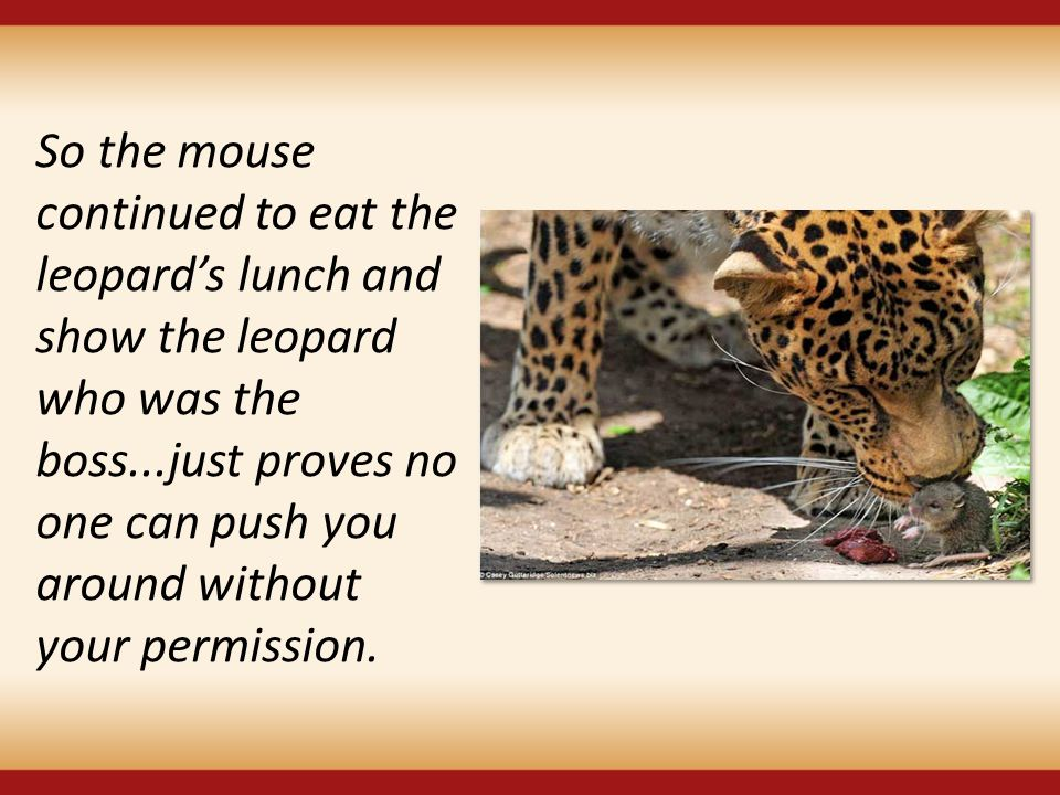 So the mouse continued to eat the leopard's lunch and show the leopard who was the boss...just proves no one can push you around without your permission.