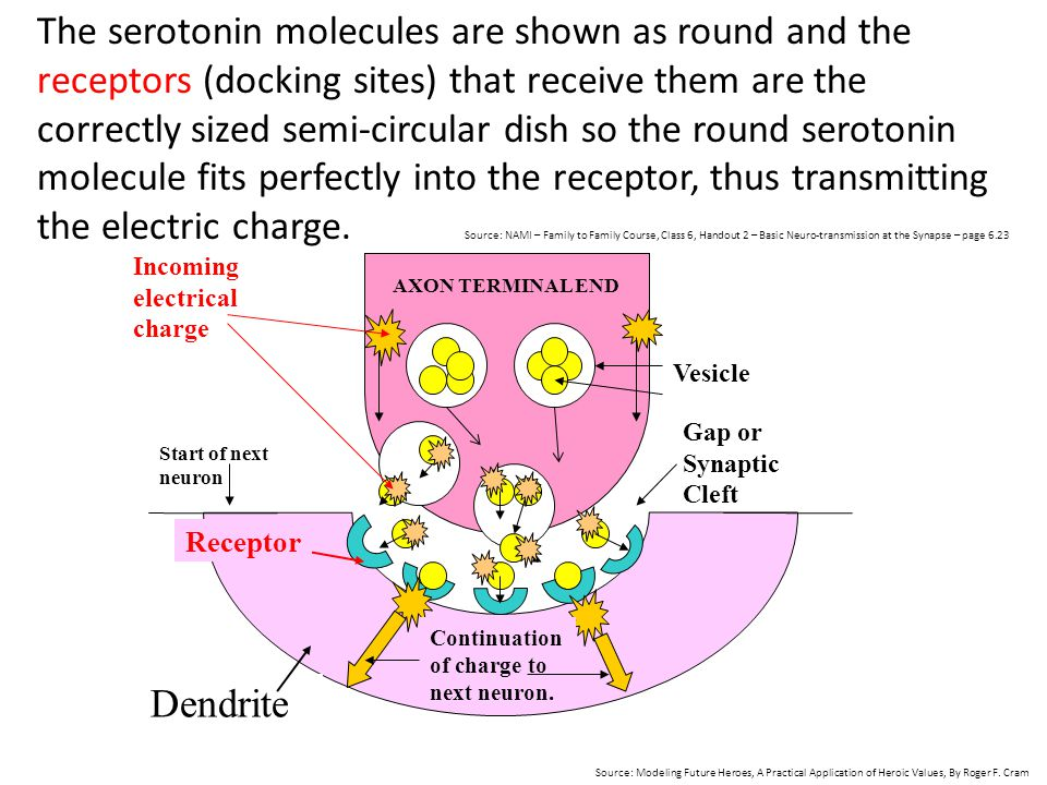 The serotonin molecules are shown as round and the receptors (docking sites) that receive them are the correctly sized semi-circular dish so the round serotonin molecule fits perfectly into the receptor, thus transmitting the electric charge. Source: NAMI – Family to Family Course, Class 6, Handout 2 – Basic Neuro-transmission at the Synapse – page 6.23