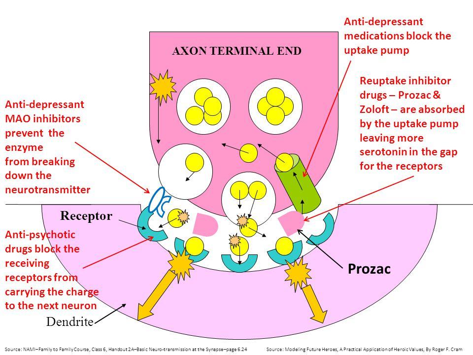 Prozac Receptor Dendrite