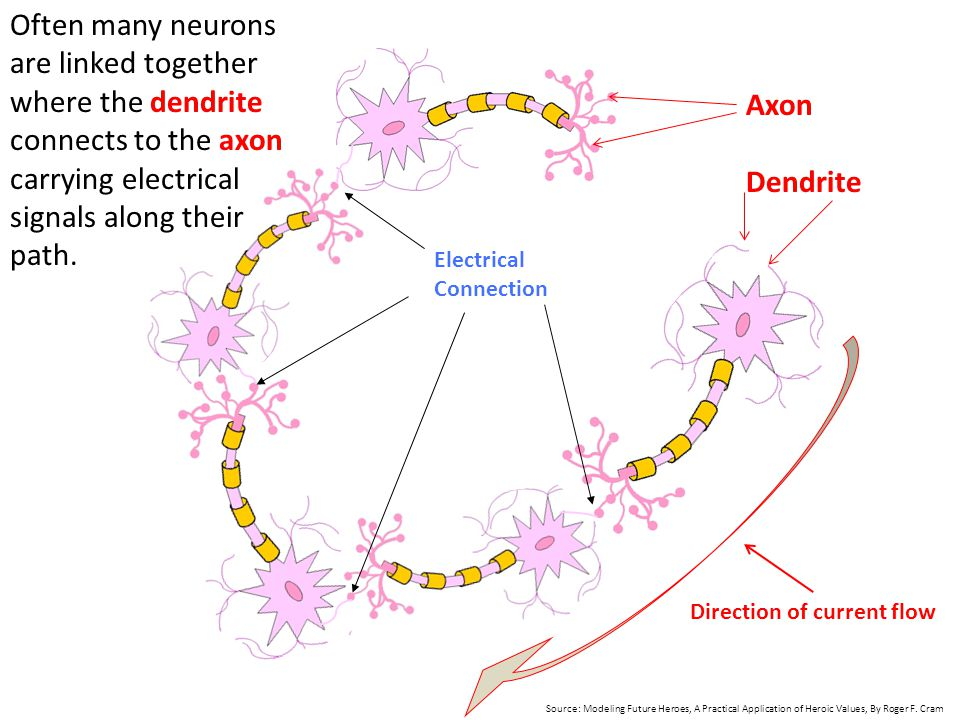 Often many neurons are linked together where the dendrite connects to the axon carrying electrical signals along their path.