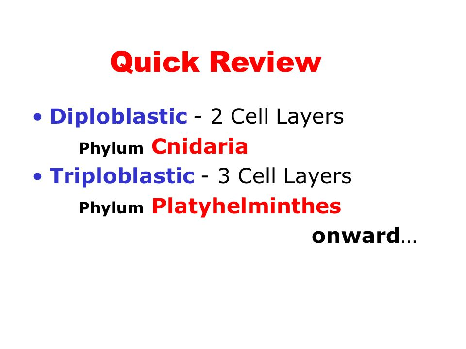 Quick Review Diploblastic - 2 Cell Layers Phylum Cnidaria