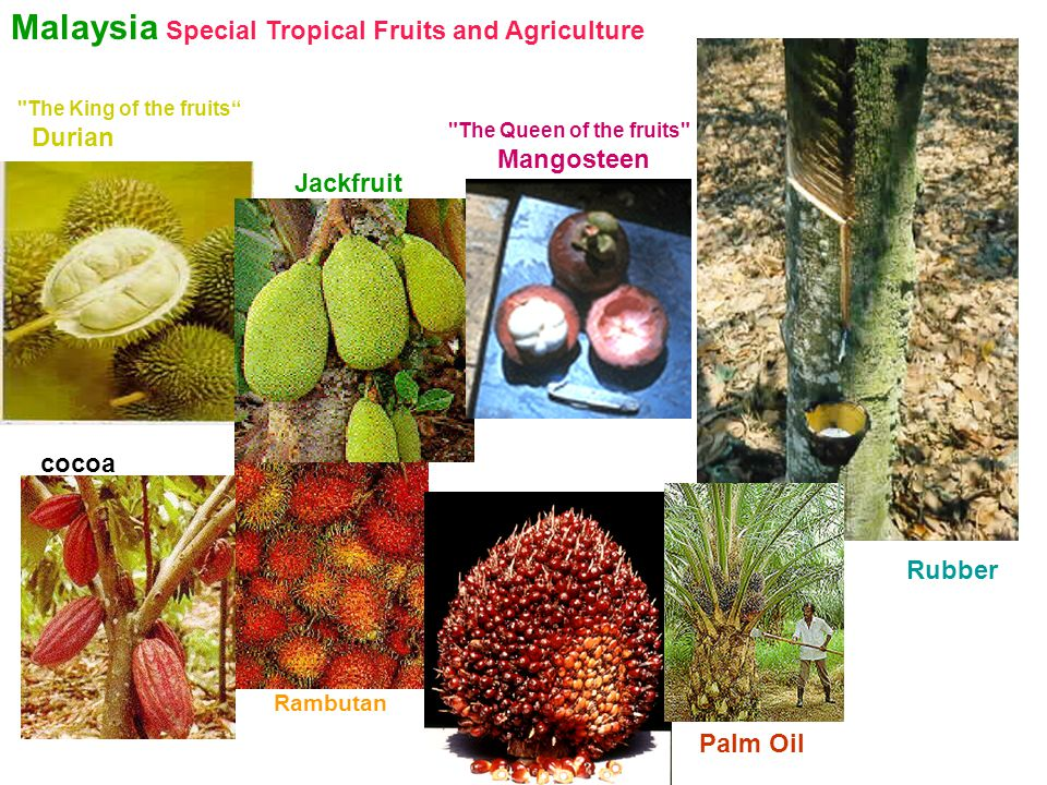 Malaysia Special Tropical Fruits and Agriculture