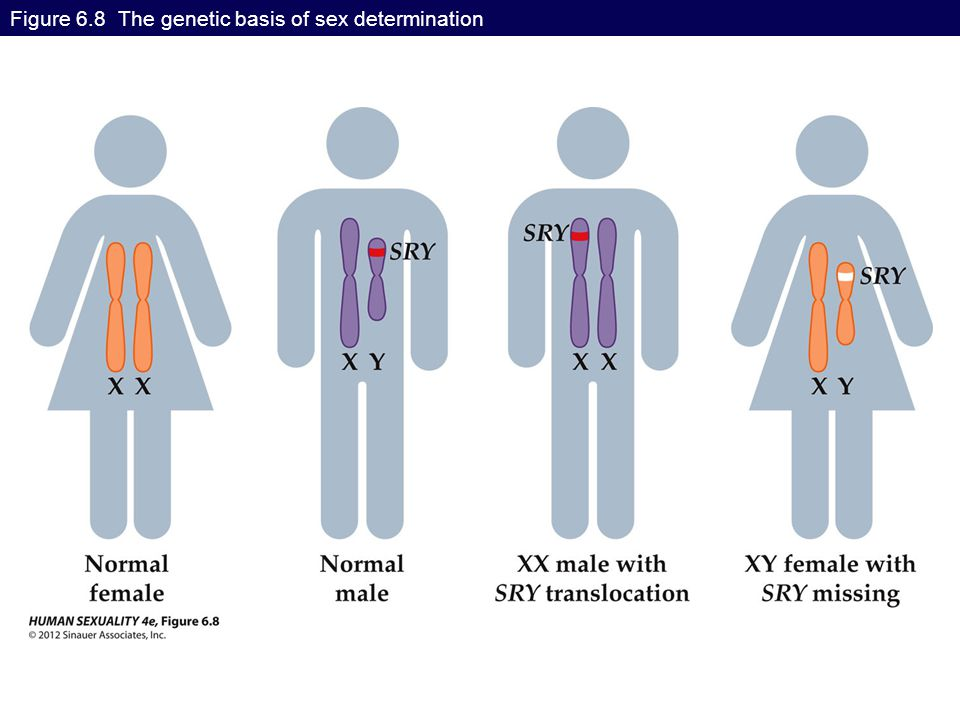 Figure 6.8 The genetic basis of sex determination