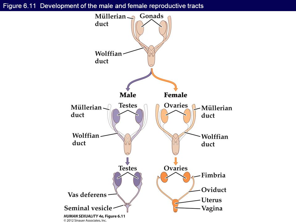 Figure 6.11 Development of the male and female reproductive tracts