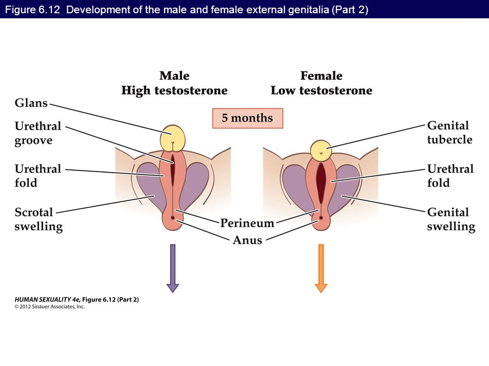 Figure 6.12 Development of the male and female external genitalia (Part 2)