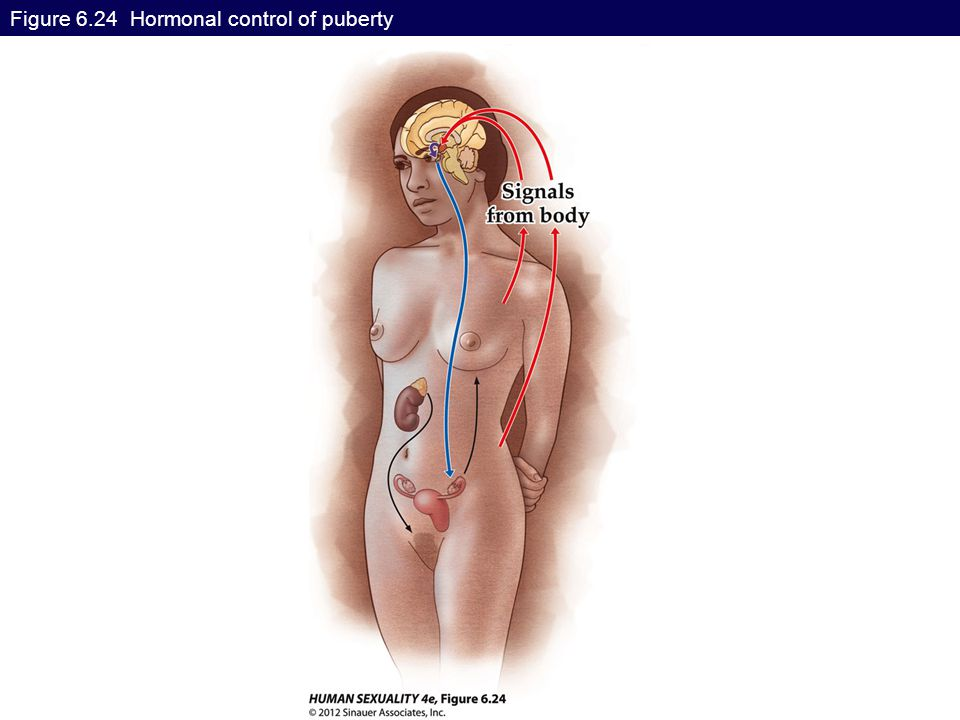 Figure 6.24 Hormonal control of puberty