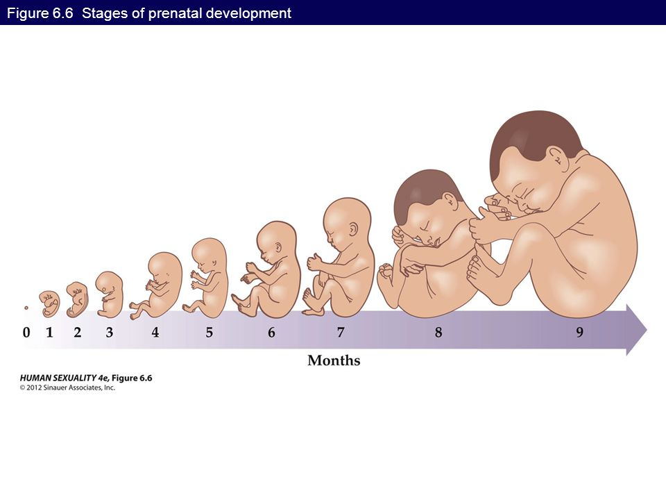 Figure 6.6 Stages of prenatal development