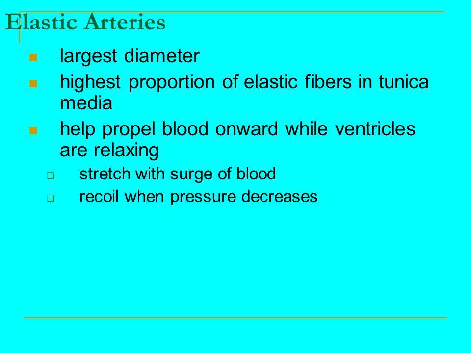 Elastic Arteries largest diameter