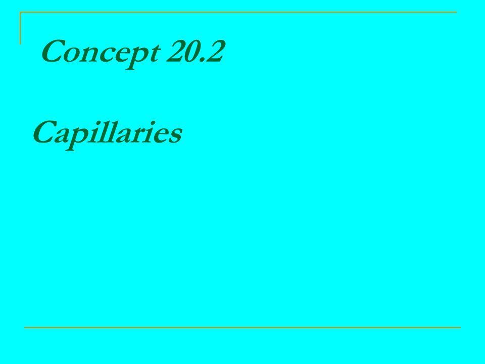 Concept 20.2 Capillaries