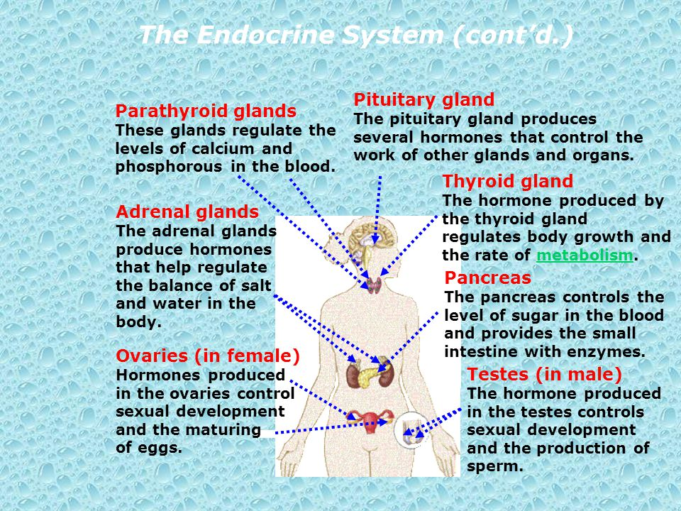 The Endocrine System (cont'd.)