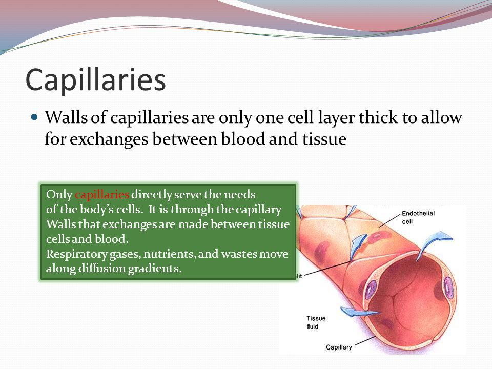 Capillaries Walls of capillaries are only one cell layer thick to allow for exchanges between blood and tissue.