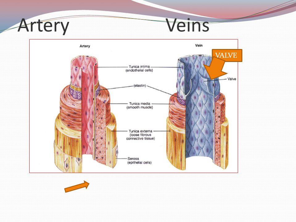 Artery Veins VALVE