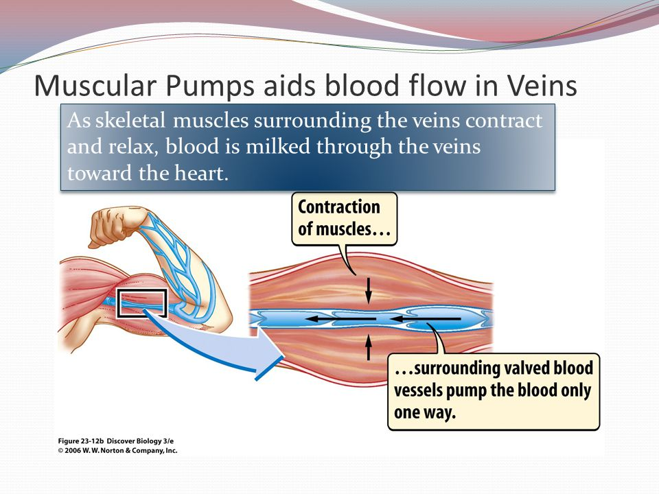 Muscular Pumps aids blood flow in Veins
