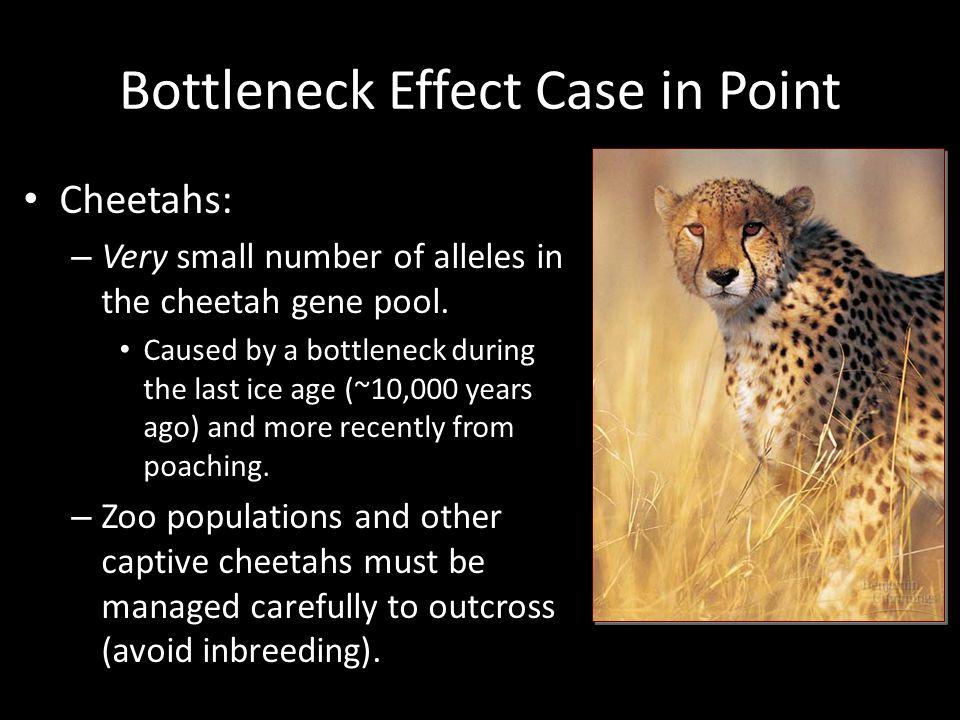Bottleneck Effect Case in Point
