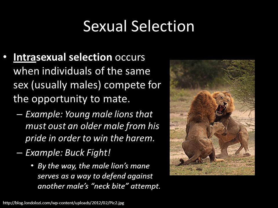 Sexual Selection Intrasexual selection occurs when individuals of the same sex (usually males) compete for the opportunity to mate.