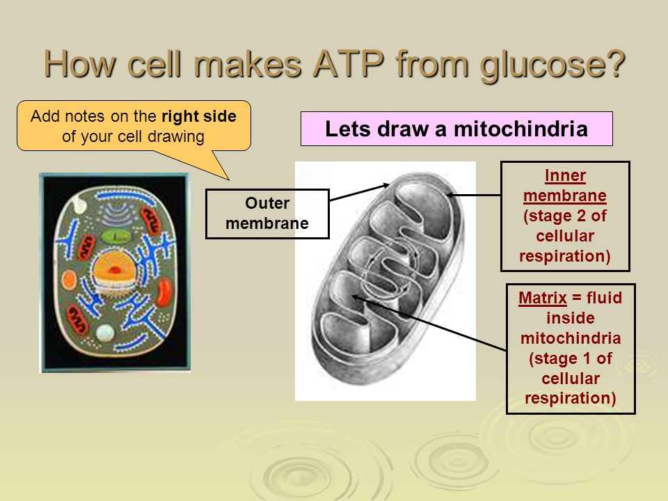 How cell makes ATP from glucose