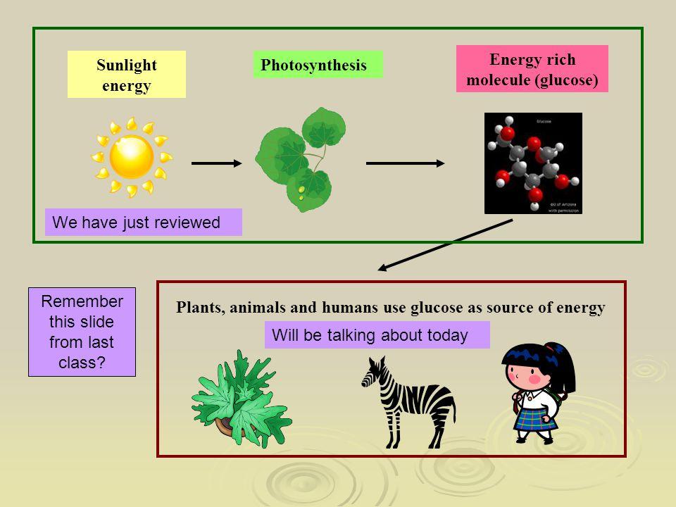 Energy rich molecule (glucose)