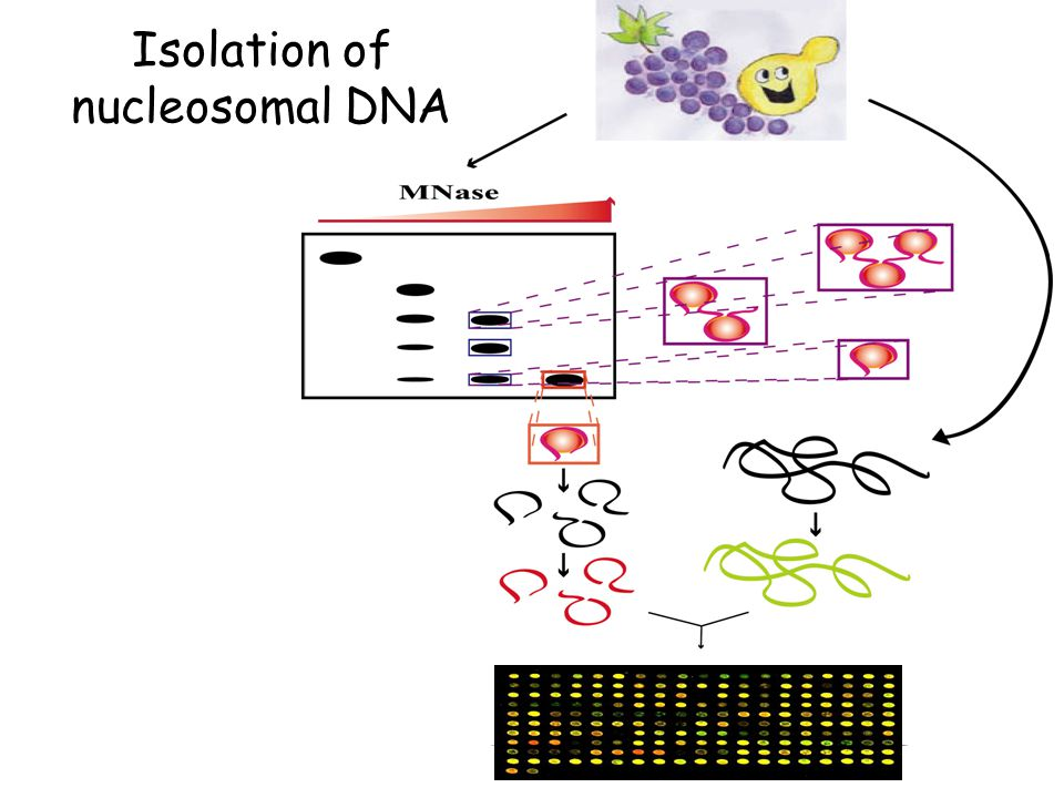 Isolation of nucleosomal DNA